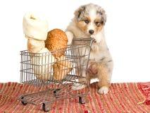 Australian Shepherd with cart and bones on white. Australian Shepherd puppy with miniature shopping cart filled with bones, on white background Stock Images