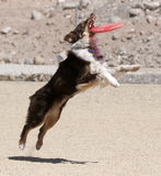 Australian Shepherd catching a disk. In mid air at the park royalty free stock photos