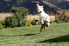 Australian Shepherd catching her disk in mid air Stock Image