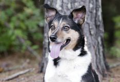 Australian Shepherd Cattledog Collie mixed breed dog Royalty Free Stock Photography