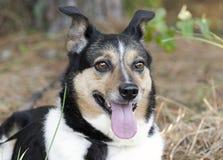 Australian Shepherd Cattledog Collie mixed breed dog royalty free stock images