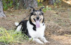 Australian Shepherd Cattledog Collie mixed breed dog stock photos