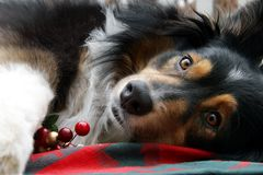Australian Shepherd Christmas Display Stock Photography