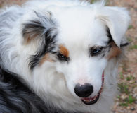 Australian Shepherd Close-up Stock Photo