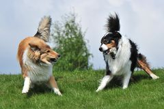 Australian Shepherd and Collie Stock Photography