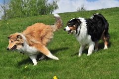 Australian Shepherd and Collie Stock Photos