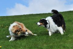 Australian Shepherd and Collie Royalty Free Stock Photography