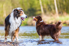 Australian Shepherd and Collie-Mix dog royalty free stock photo