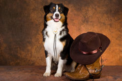 Australian Shepherd with cowboy gear Stock Photography