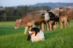 Australian Shepherd. With cows on an willow Royalty Free Stock Images
