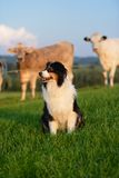 Australian Shepherd Stock Photography