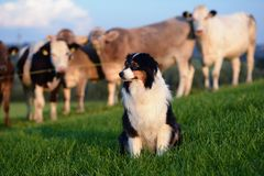 Australian Shepherd. With cows on an willow Royalty Free Stock Image