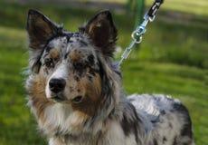 Australian Shepherd Royalty Free Stock Image