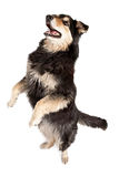 Australian Shepherd Dancing Stock Photo