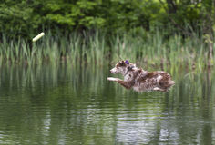 Australian Shepherd  diving into a stream Royalty Free Stock Photography