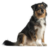 Australian Shepherd dog, 1 year old, sitting Royalty Free Stock Photos