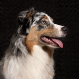 Australian Shepherd dog, 10 months old Stock Photos
