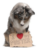 Australian Shepherd dog, 10 months old, sitting Royalty Free Stock Photos