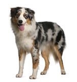 Australian Shepherd dog, 12 months old, standing Royalty Free Stock Photos