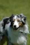 Australian Shepherd dog. An Australian Shepherd dog head portrait watching the herd of sheep Stock Photos