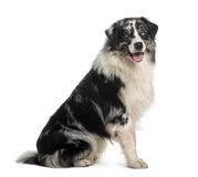 Australian Shepherd dog, 14 Months Old, sitting Royalty Free Stock Images