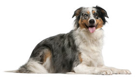 Australian Shepherd dog, 2 years old, lying Royalty Free Stock Photos