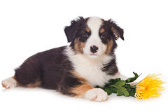 Australian Shepherd dog Stock Photo