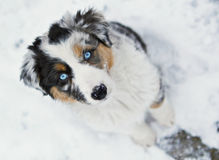 Australian shepherd puppy. High angle view of Australian Shepherd puppy dog with blue eyes and merle coat in snow royalty free stock photos