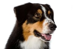 Australian Shepherd Dog Stock Photography