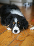 Australian Shepherd dog Royalty Free Stock Image
