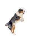 Australian Shepherd dog Royalty Free Stock Photos