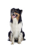 Australian Shepherd dog Royalty Free Stock Photo