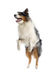 Australian Shepherd dog Stock Photos