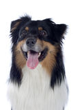 Australian Shepherd dog Stock Image