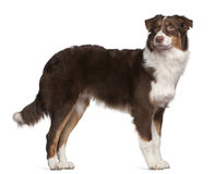 Australian Shepherd dog, 7 months old, standing Royalty Free Stock Photography