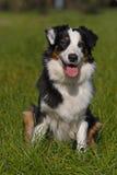 Australian Shepherd dog Royalty Free Stock Photo