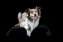 Australian Shepherd dog in black background. Australian Shepherd dog lying isolated in black background Royalty Free Stock Photos
