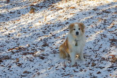 Australian Shepherd dog blending in with snow and dead leaves. A tan and white Australian Shepherd dog blending in with the snow and dead leaves it is sitting on Royalty Free Stock Photos