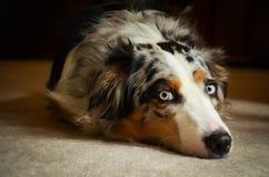 Australian Shepherd Dog - Blue Merle Stock Photo