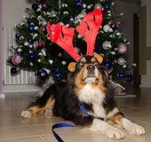 Australian shepherd dog  dress a Christmas reindeer horns Stock Photo