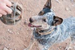 Australian shepherd dog enjoying playing ball Royalty Free Stock Image