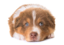 Australian shepherd dog. In front of white background stock photos