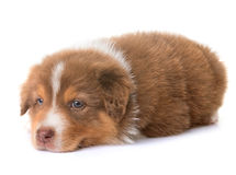 Australian shepherd dog. In front of white background royalty free stock photos