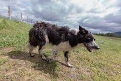 Australian Shepherd dog full body side view walking stock photos