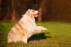 Australian shepherd dog gives paw Stock Image