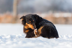 Australian Shepherd dog gnawing at the paw. Australian Shepherd dog gnawing at the frozen paw in the snow Royalty Free Stock Image