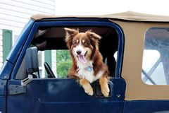 Australian Shepherd Dog hanging out the window of a jeep