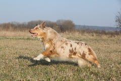 Australian Shepherd dog jumping Royalty Free Stock Image