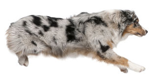 Australian Shepherd dog jumping, 7 months old Stock Photos