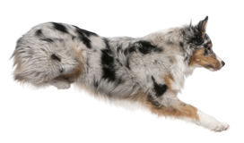 Australian Shepherd dog jumping, 7 months old Royalty Free Stock Image